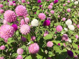 千日紅 ピンク 白 赤紫の写真・画像素材[711484]