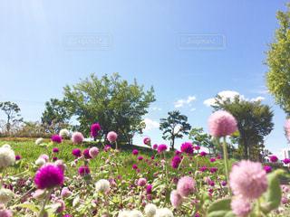 千日紅 ピンク 白 赤紫の写真・画像素材[711490]