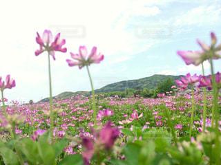 レンゲ畑 in 福岡 朝倉の写真・画像素材[711806]