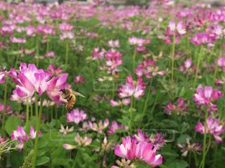 みつばちとレンゲの花  in 福岡 朝倉の写真・画像素材[711808]