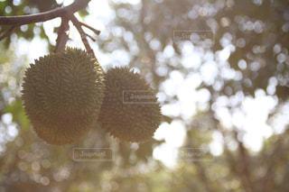 柔らかな日差しの中の ドリアン in タイランドの写真・画像素材[711861]