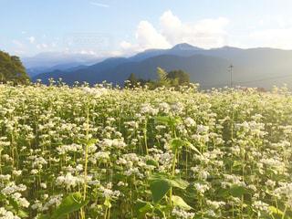 蕎麦の花畑  in 長野県 富士見町の写真・画像素材[714834]