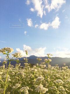 蕎麦の花畑  in 長野県 富士見町の写真・画像素材[714836]