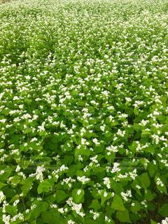 蕎麦の花畑  in 長野県 富士見町の写真・画像素材[714838]