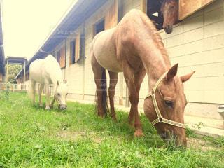 草を食む馬たちの写真・画像素材[724136]