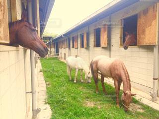 草を食む馬たちの写真・画像素材[724137]