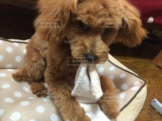 犬の写真・画像素材[704551]