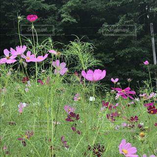 ピンクの花は草の中に立っています。の写真・画像素材[714076]