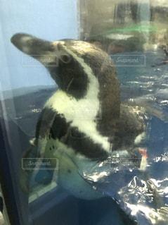 ペンギンの写真・画像素材[1065718]