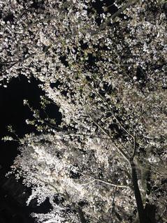 野川の夜桜の写真・画像素材[1097131]