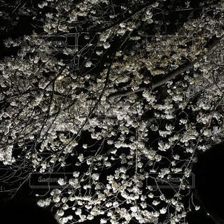 野川の夜桜の写真・画像素材[1097141]
