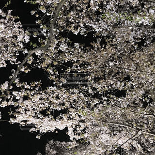 野川の夜桜の写真・画像素材[1097156]