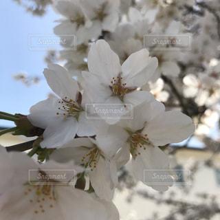 桜の花の写真・画像素材[1097169]