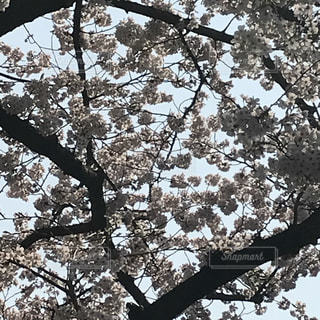 大きな桜の木の写真・画像素材[1097184]