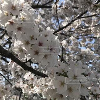 満開の桜の写真・画像素材[1097190]