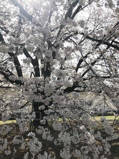 満開の桜の写真・画像素材[1097191]