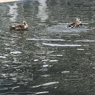 池のカモの写真・画像素材[1206134]