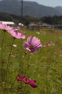 コスモス畑の写真・画像素材[774455]