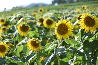 フィールド内の黄色の花 - No.705281