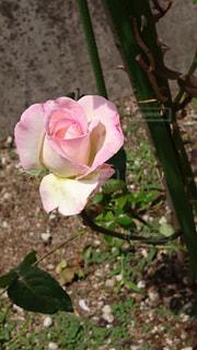 植物にピンクの花の写真・画像素材[705880]