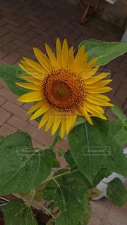 緑の葉と黄色の花の写真・画像素材[705913]