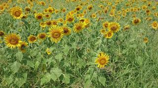 フィールド内の黄色の花の写真・画像素材[762458]