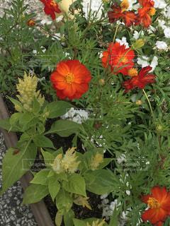 植物の赤い花の写真・画像素材[762517]