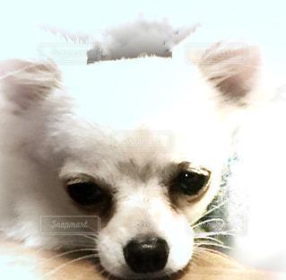 白い犬の写真・画像素材[707183]
