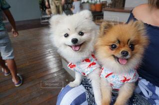 ひもに小型犬の写真・画像素材[707136]