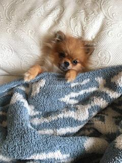 ベッドの上に横たわる犬の写真・画像素材[707417]