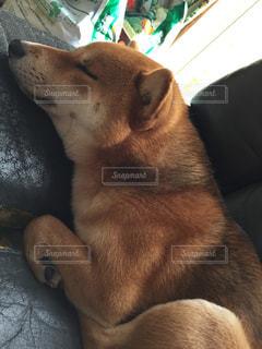 横になって、カメラを見ている犬の写真・画像素材[707366]