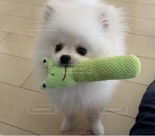 カメラを見ている小型犬の写真・画像素材[4781050]