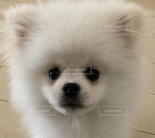 カメラを見ている小型犬の写真・画像素材[4781047]