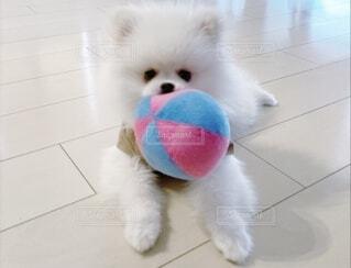 おもちゃで遊んでいる小さな犬の写真・画像素材[4781056]