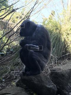 寒さに震えるチンパンジーの写真・画像素材[1061688]