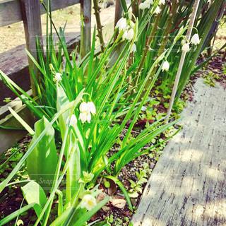 庭園の白い小花の写真・画像素材[719429]