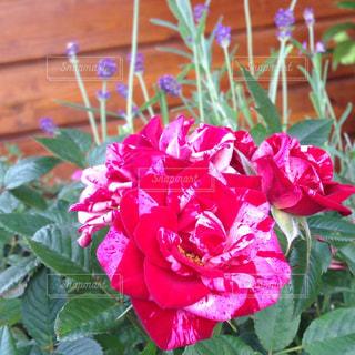 ミニ薔薇のアップ - No.719476