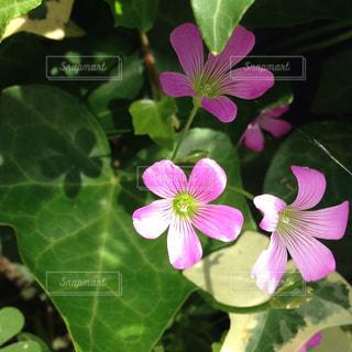 ピンクの雑草の花の写真・画像素材[719490]