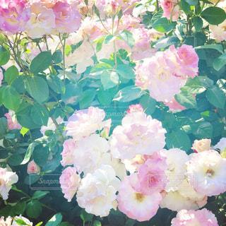 淡いピンクの花の写真・画像素材[719501]
