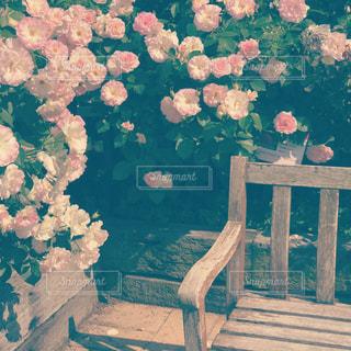 木製のベンチと薔薇の写真・画像素材[719502]
