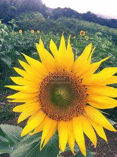 黄色の花の写真・画像素材[708027]