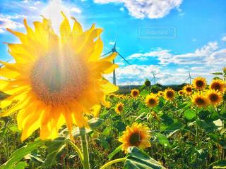 黄色の花の写真・画像素材[716327]