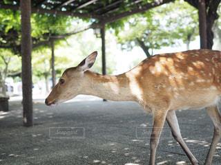土の中の鹿の立っています。の写真・画像素材[709599]