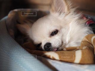 茶色と白犬の写真・画像素材[710736]