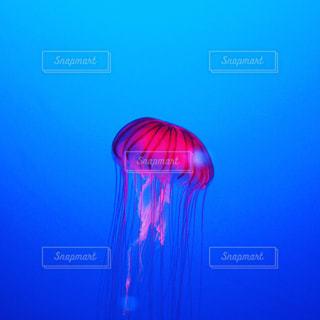 水クラ ゲの写真・画像素材[711321]
