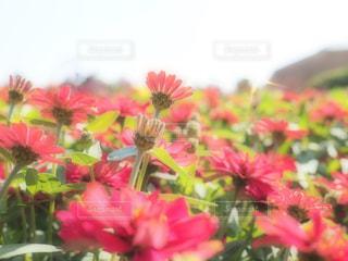 植物にピンクの花の写真・画像素材[717921]