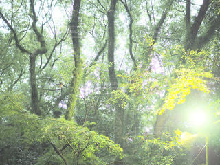 森の大きな木の写真・画像素材[821480]