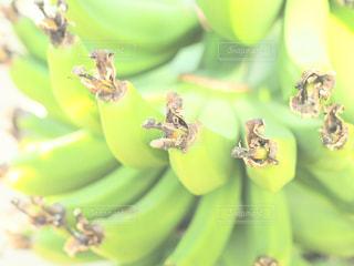 バナナの木の写真・画像素材[995403]