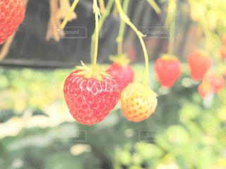 近くに果物の木のアップの写真・画像素材[995412]