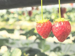 近くに赤い果実の - No.995429